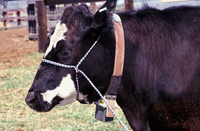 ars-dave-ganskopp-cow-with-gps-collar-670